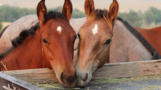 How To Use Essential Oils For Horses + Recipes E-BOOK!