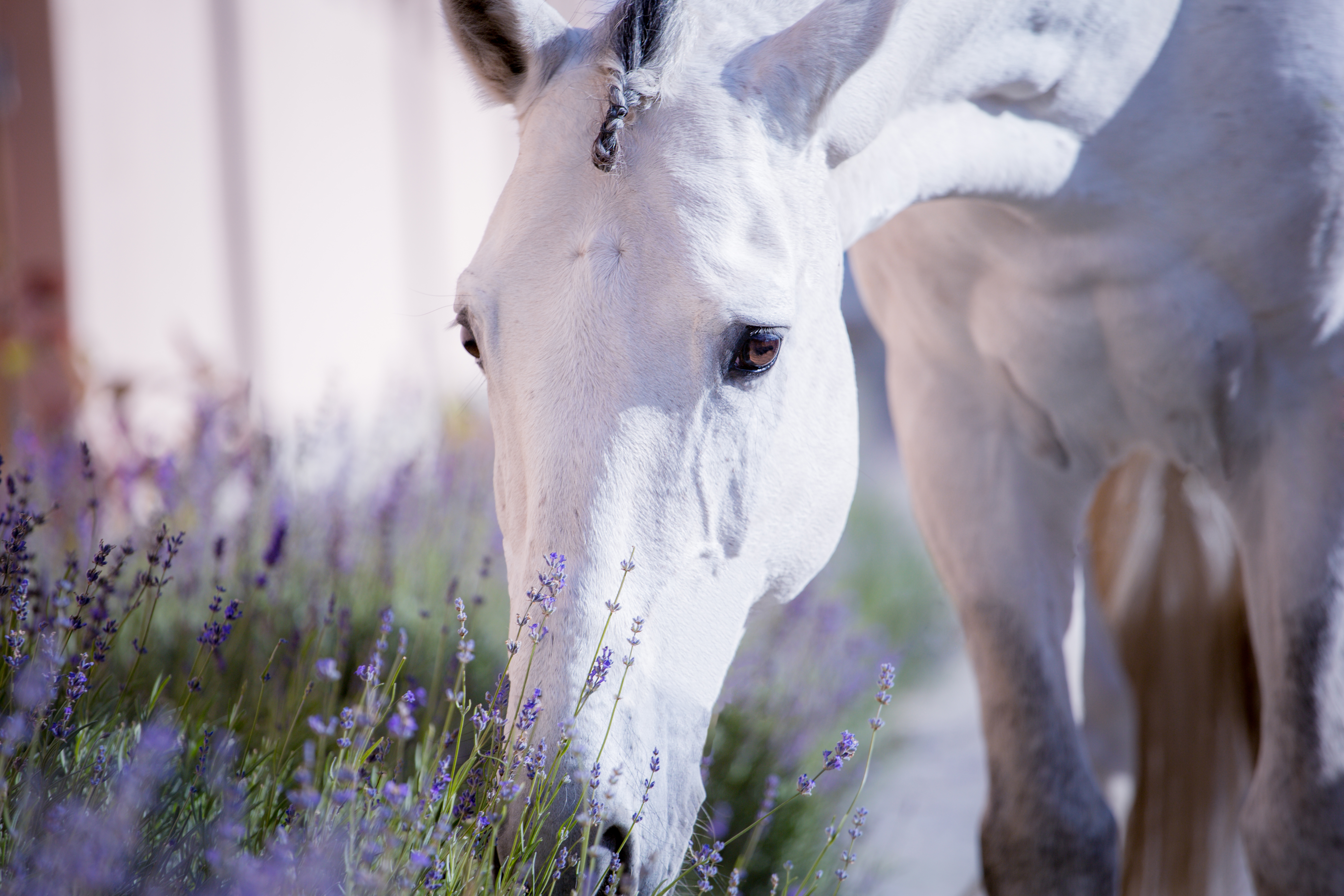 Essential Oils For Equestrians And Their Horses!